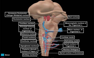 The master control switchboard – Cranial nerve nuclei